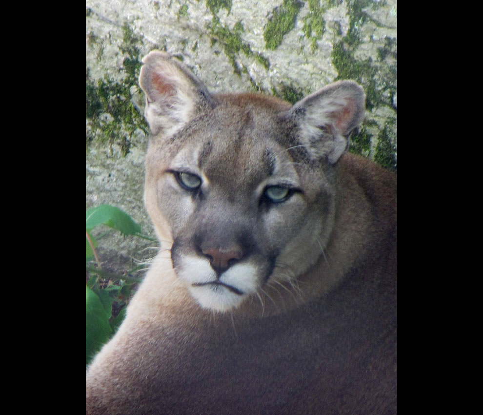 This is Aspen, the big male cougar on Grandfather Mountain