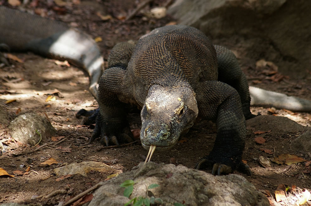forked tongue komodo dragon