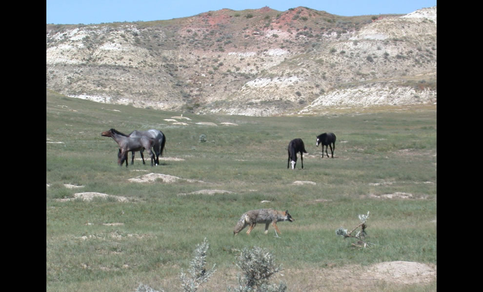 A coyote patrols through a prairie dog town while feral horses graze