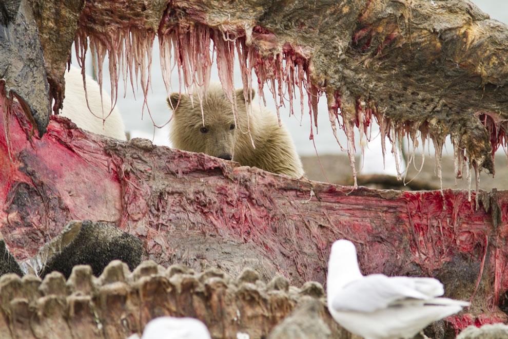 A cub munches on bow whale carcass in Kaktovik, Alaska