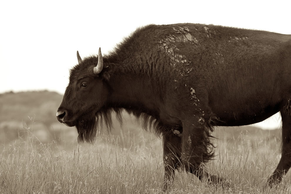 A juvenile bison at Theodore Roosevelt National ParK &#039;Getting old enough to shave&#039;