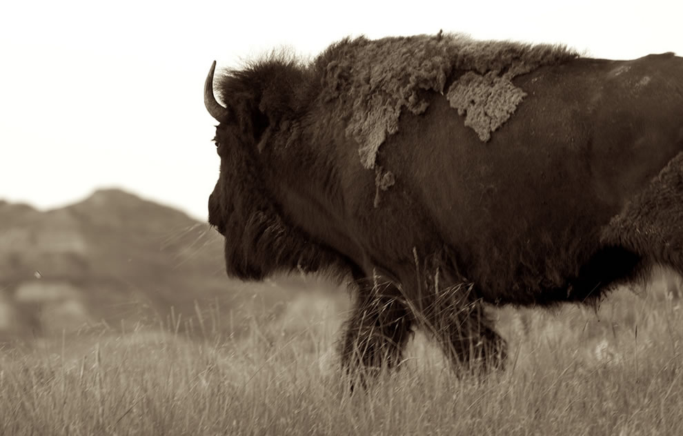 Back to the land of his forebears TRNP Bison