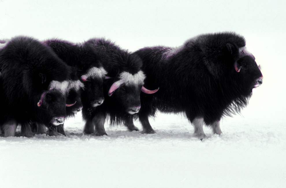 Muskoxen Arctic mammal