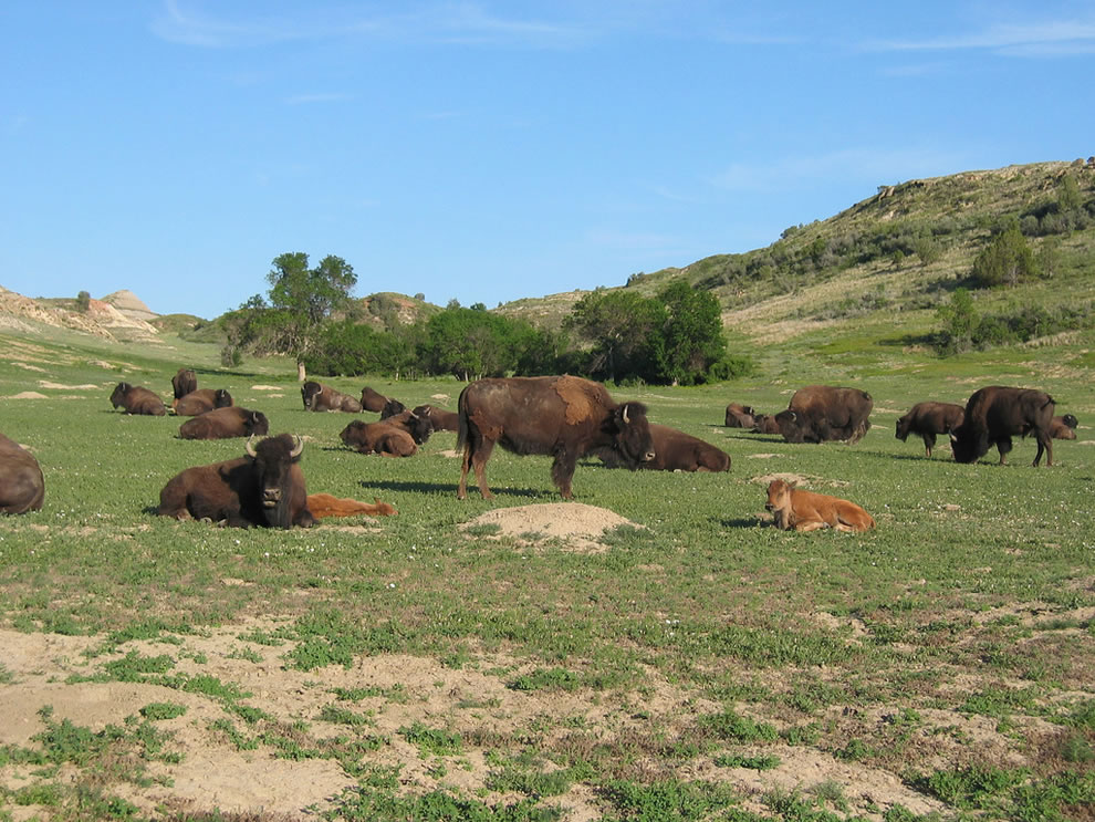 Oh give me a home, where the buffalo roam . . . TRNP