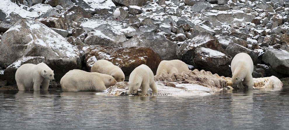 Party of Six Polar bears sharing a whale carcass