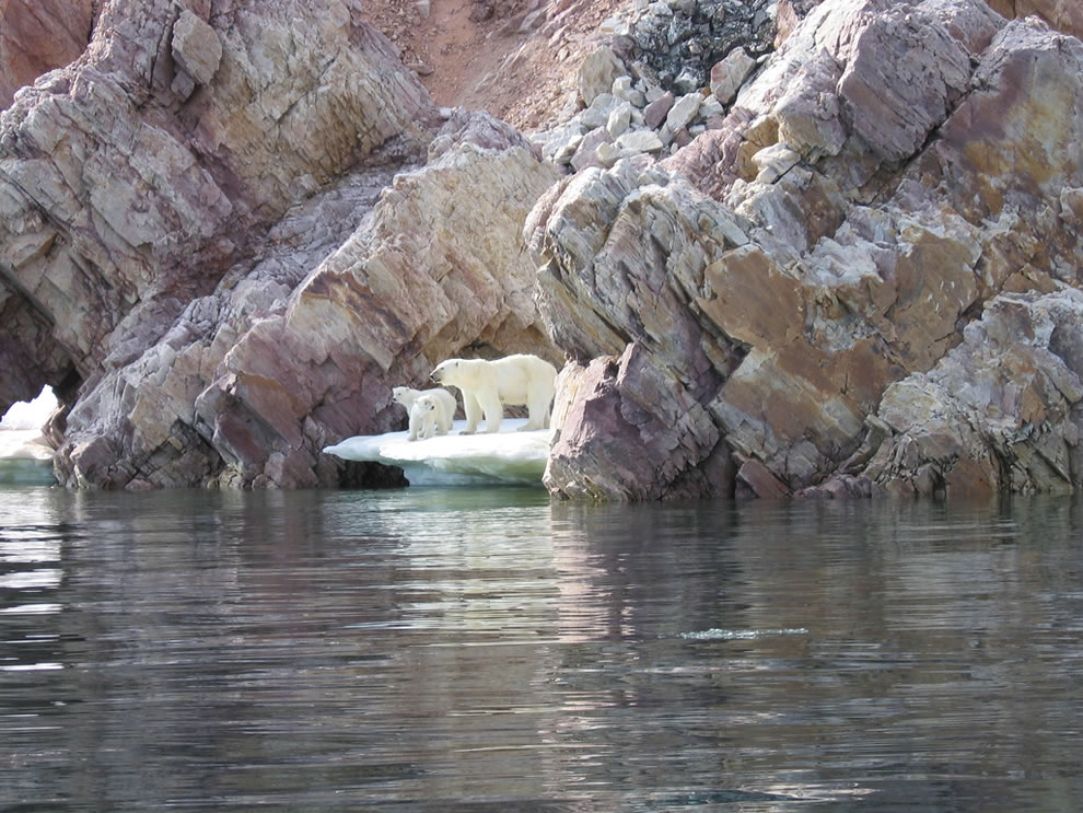 Polar Bear Mother and Cubs hanging out