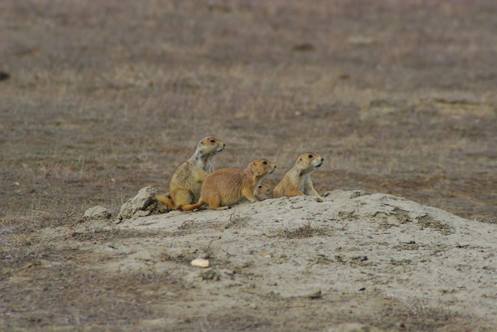 Prairie Dogs at Theodore Roosevelt National Park