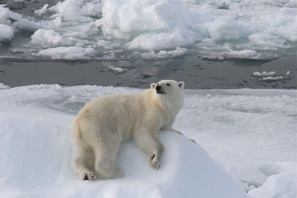 Sailing south, we meet wonderful polar bears on the ice