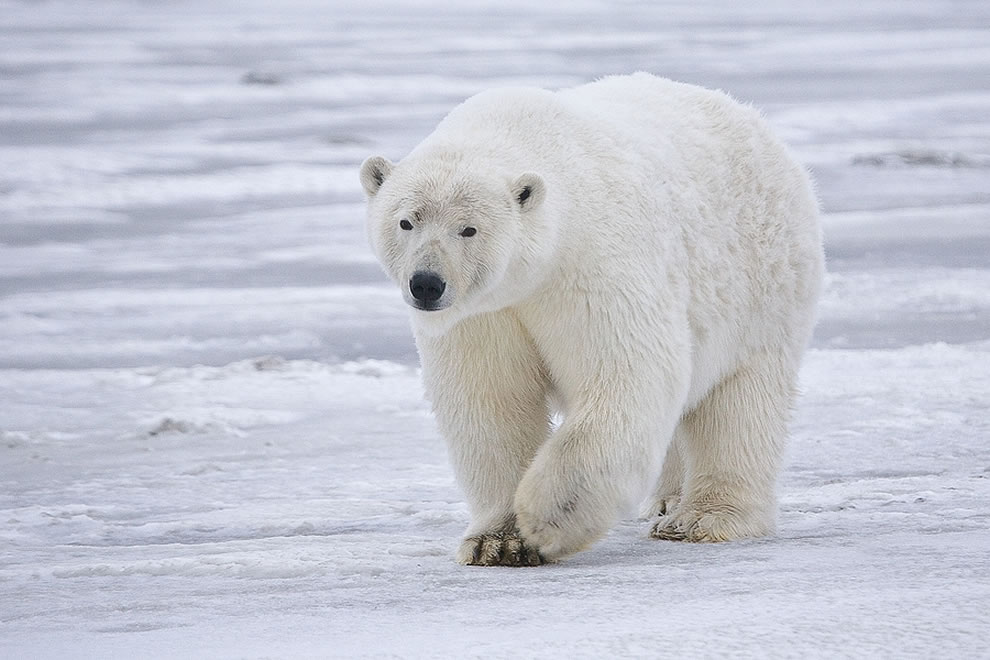 Sow Polar Bear near Kaktovik