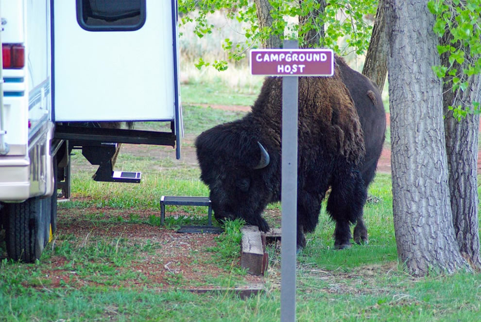 &#039;campground host&#039; - bison visit the Cottonwood campground at TRNP