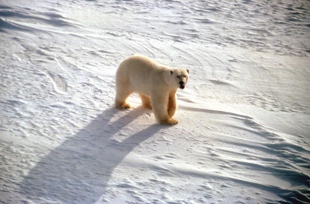 polar bear roaring USFWS