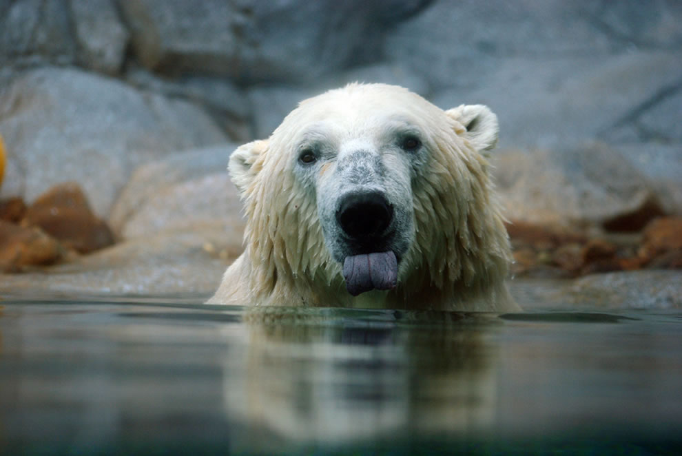 polar bear enjoying the water
