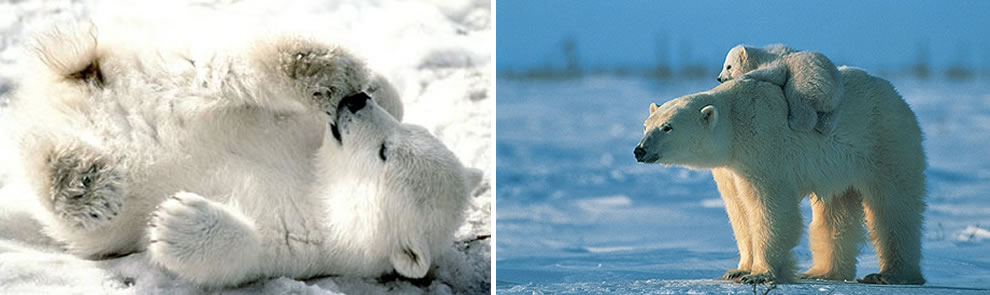 precious polar bear cubs