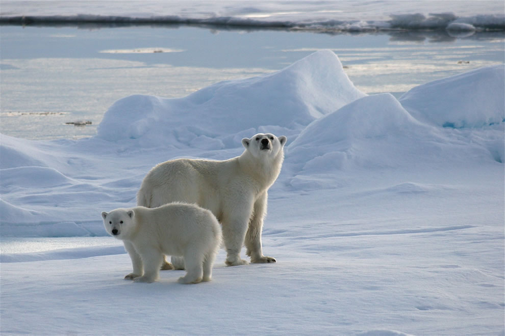 sniffing the air -- IJsberen op Spitsbergen -- Polar bears on Svalbard