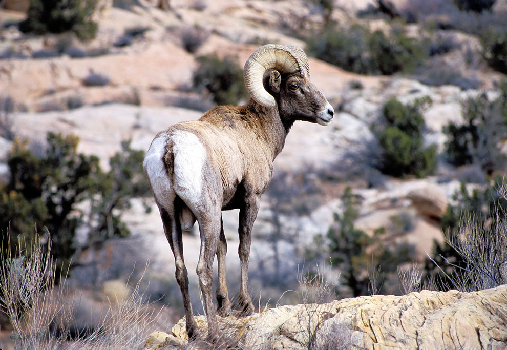 Big Horn Sheep at Arches National Park