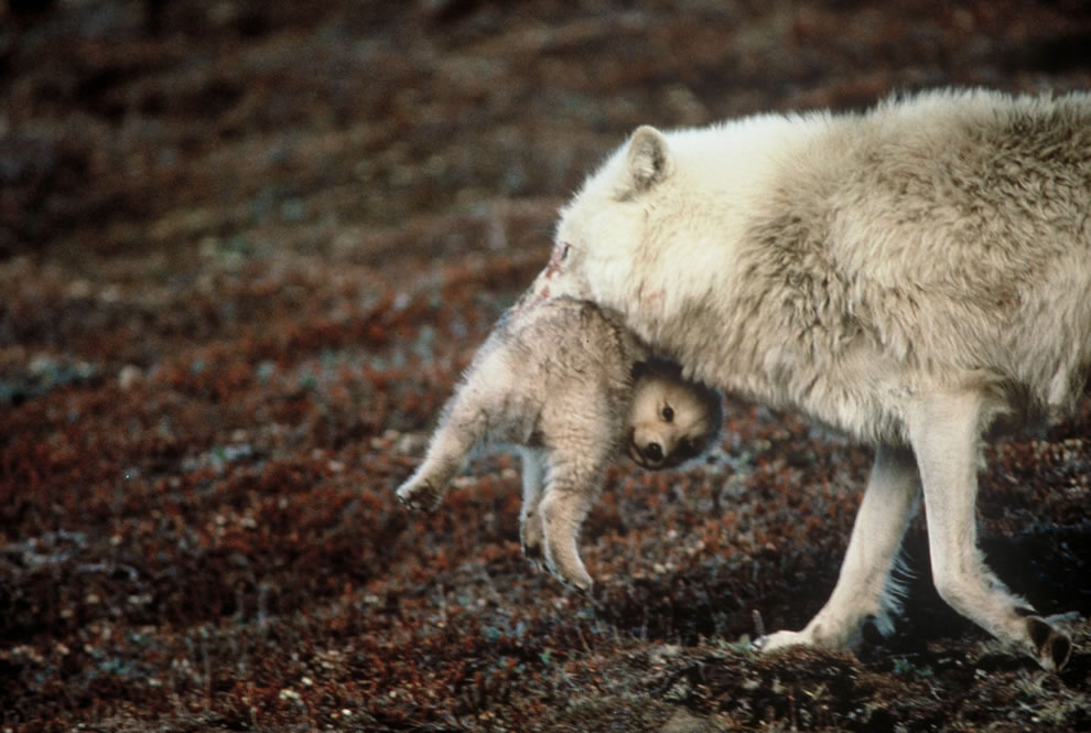 Brutus the North Pole Wolf -- Mother carries errant pup back to den