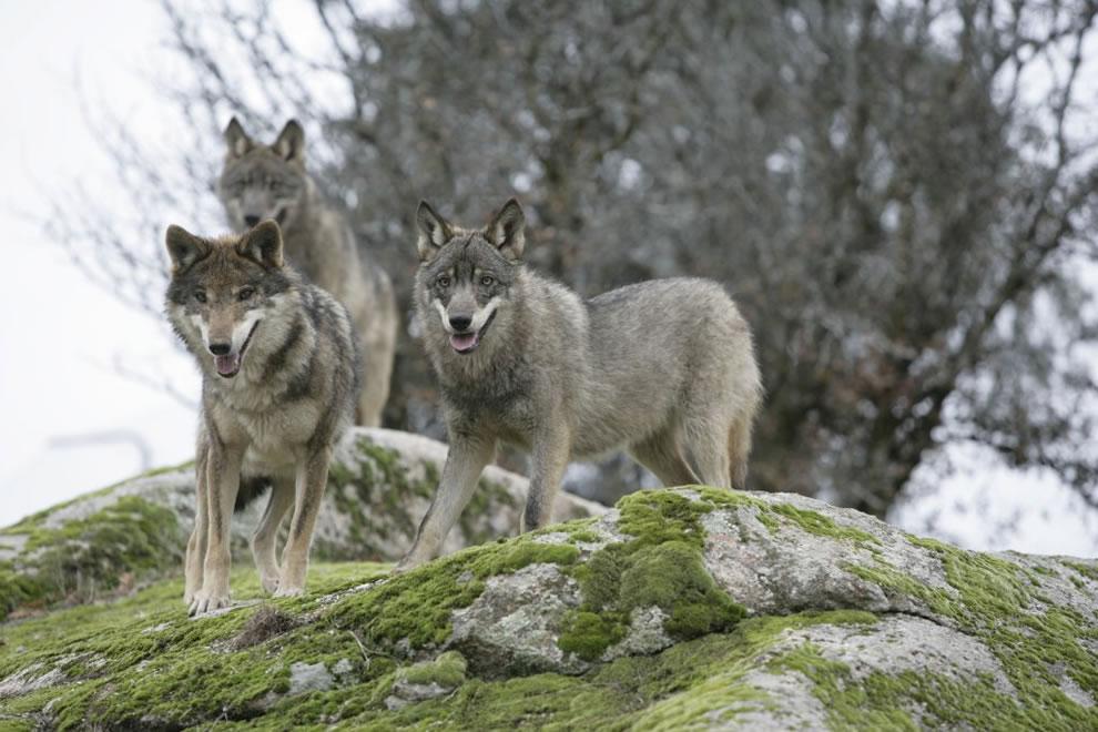 Iberian Wolves