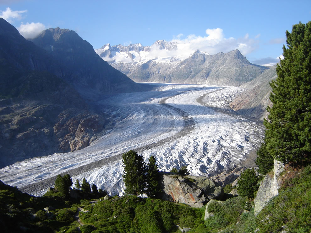 The Aletsch Glacier in Switzerland. Swiss Pines are visible in the foreground