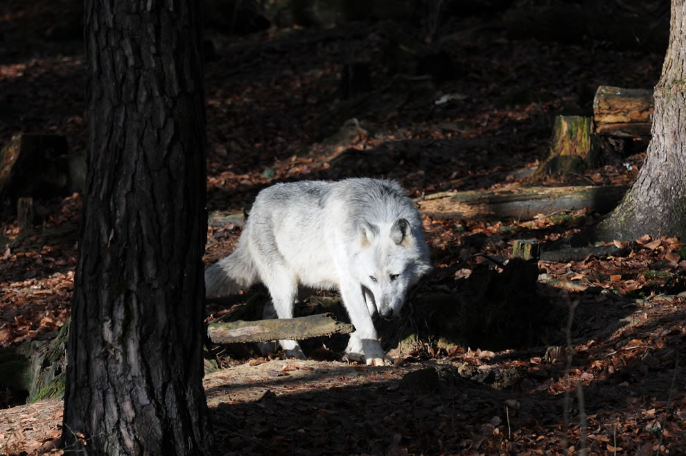 The gray wolf or grey wolf (Canis lupus), often known simply as the wolf, is the largest wild member of the Canidae family