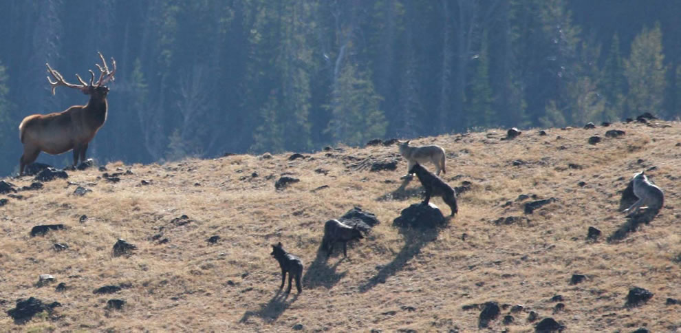 Yellowstone National Park -- The Agate wolf pack is in a stand off with a bull elk