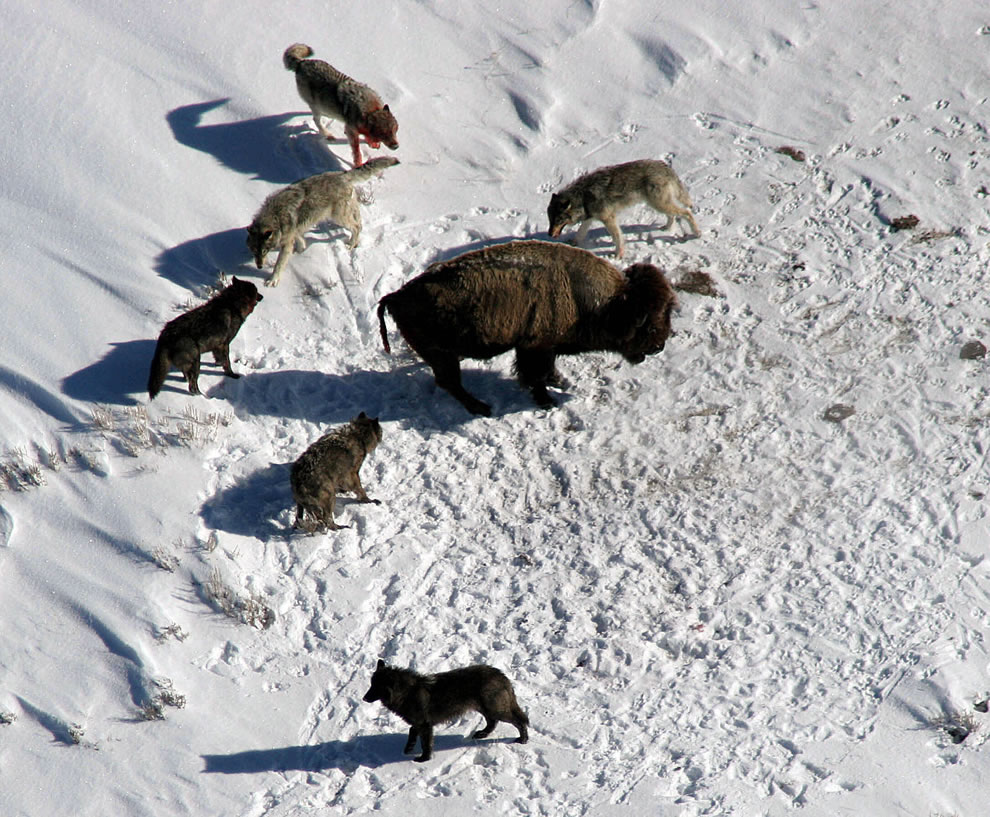 wolves in Yellowstone circling buffalo