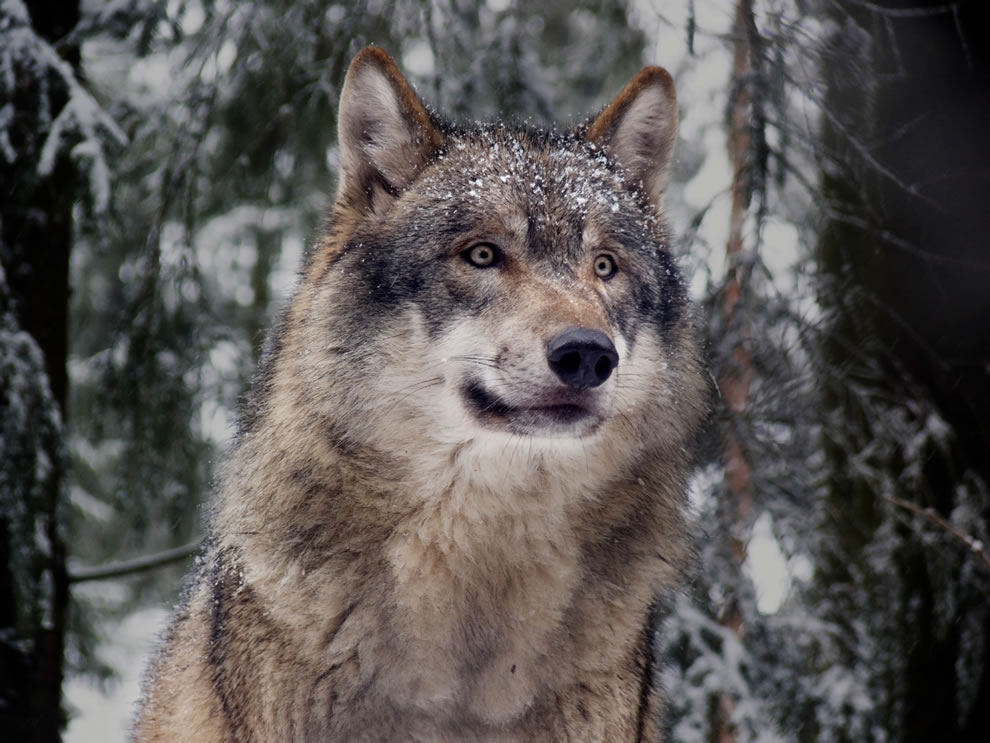 An-Eurasian-wolf-Canis-lupus-lupus-—-gray-wolf-an-example-of-the-'northern'-wolf-clade