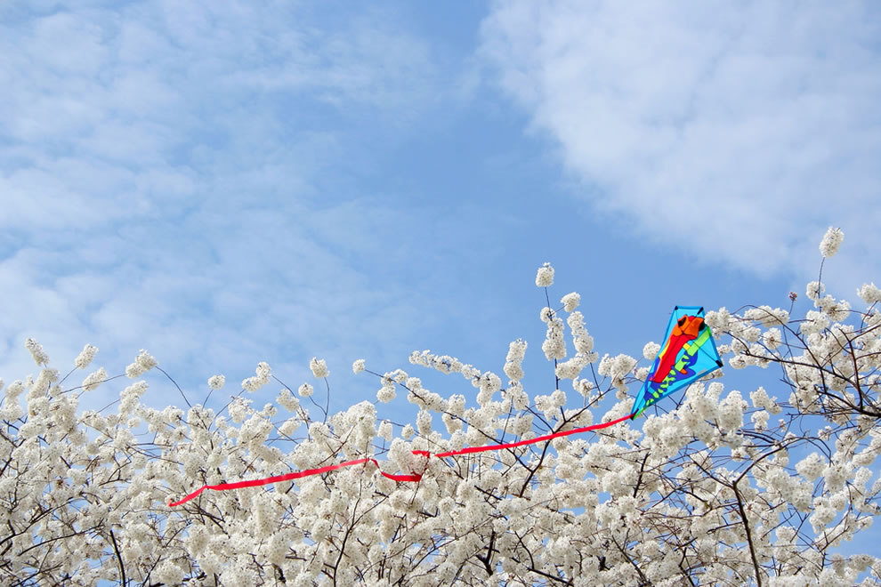 DC Cherry Blossom Festival, 'Where kites go when they die...'
