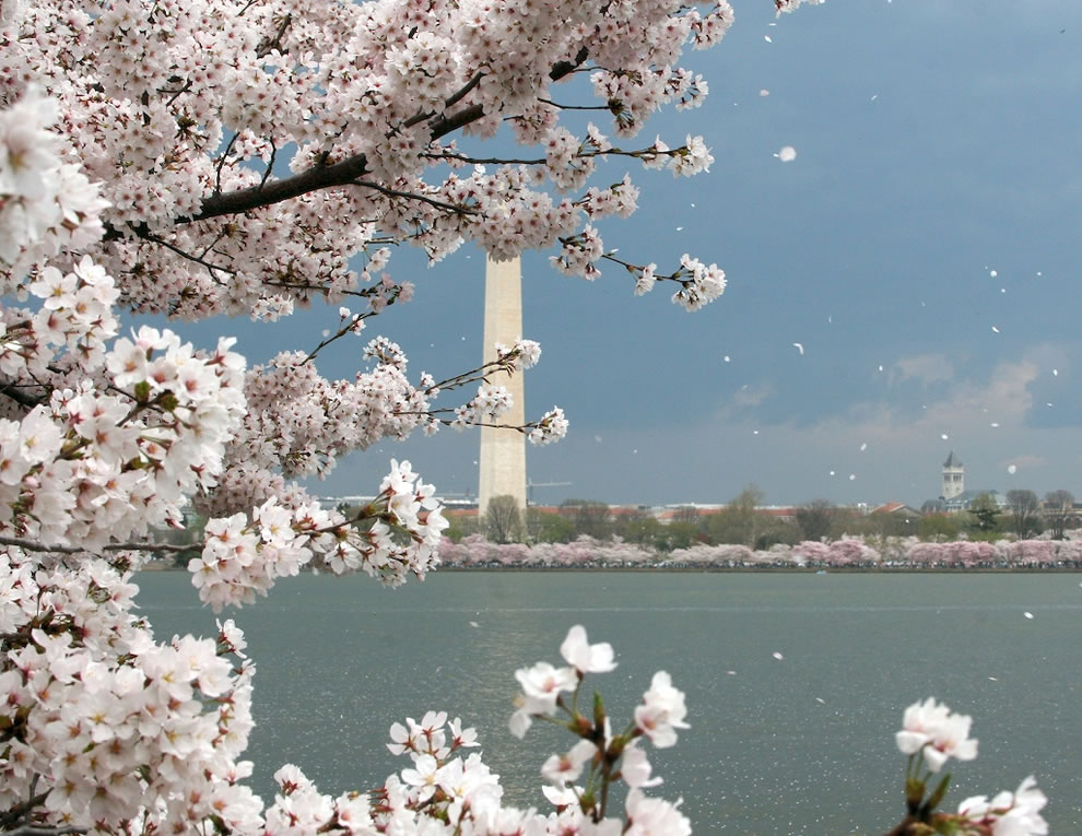 Japanese Cherry Blossoms around the Tidal Basin in Washington, D.C