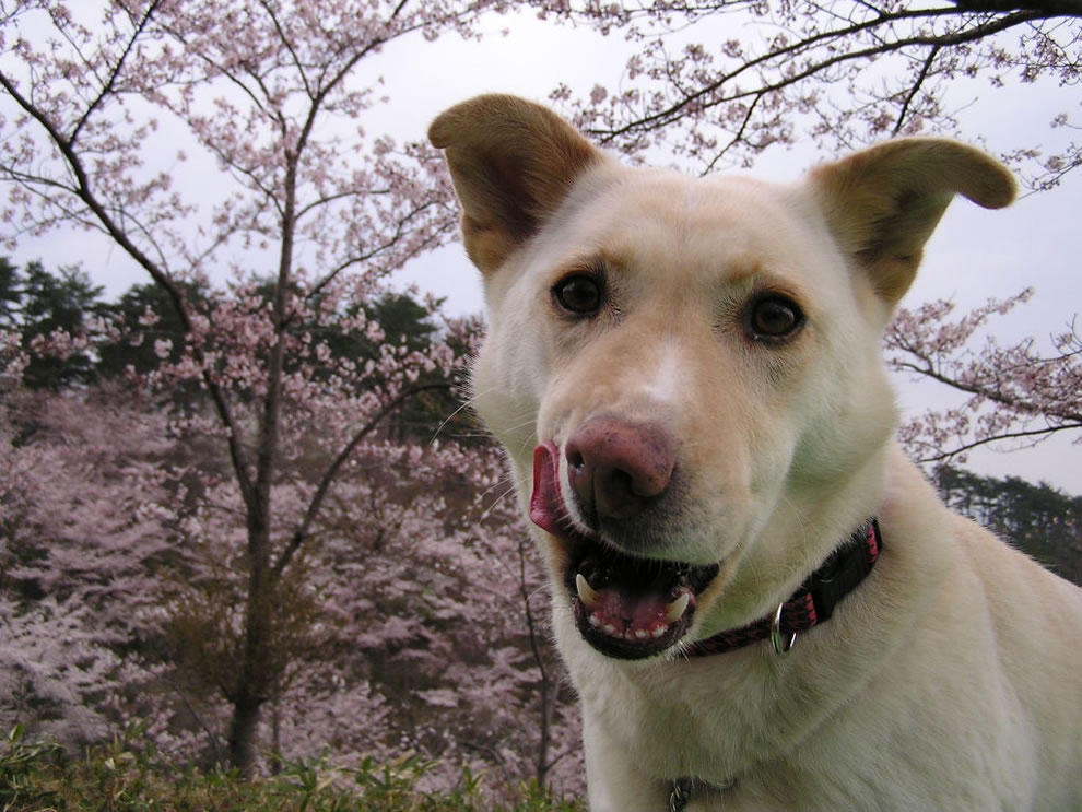 Koharu and cherry blossoms