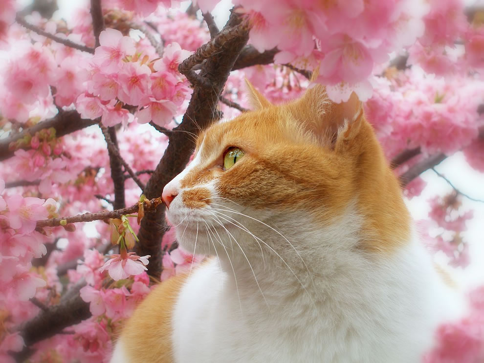 Sakura cat in cherry blossoms