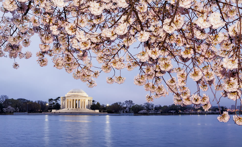 The Jefferson Memorial and cherry blossoms in a gray sunrise