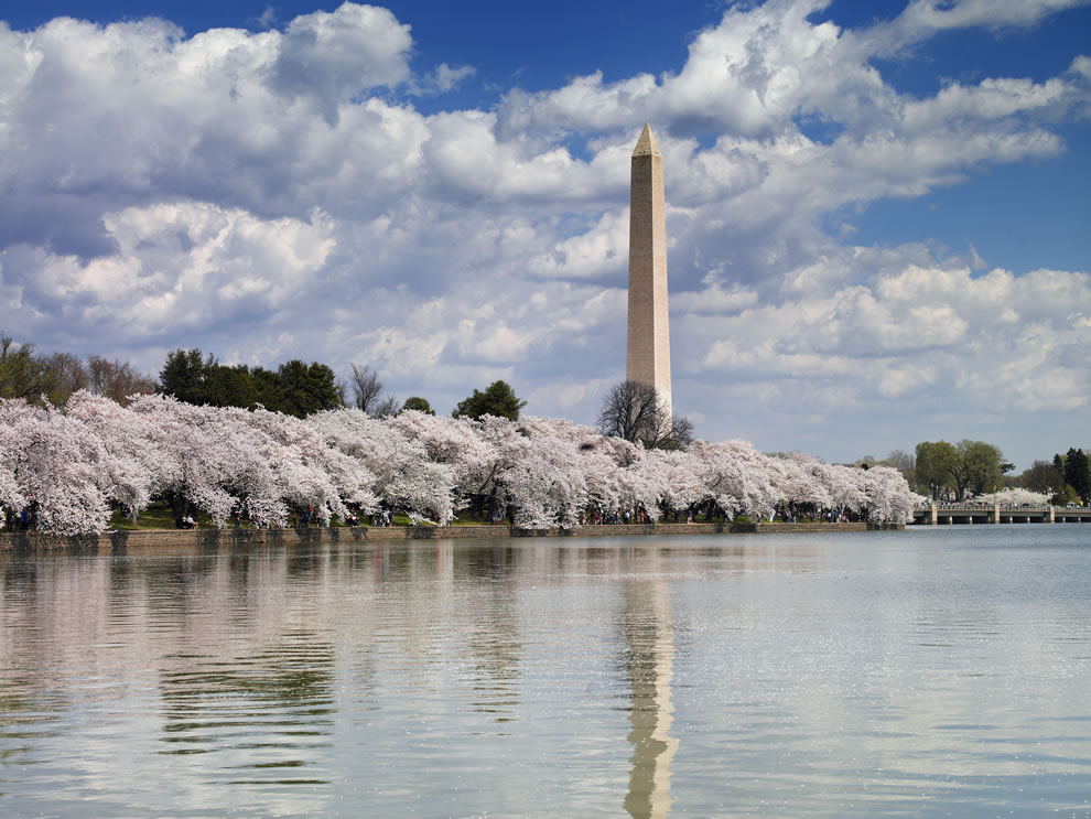 The shore of the Tidal Basin shows several blossoming cherry trees and Washington Monument, Washington, D.C.
