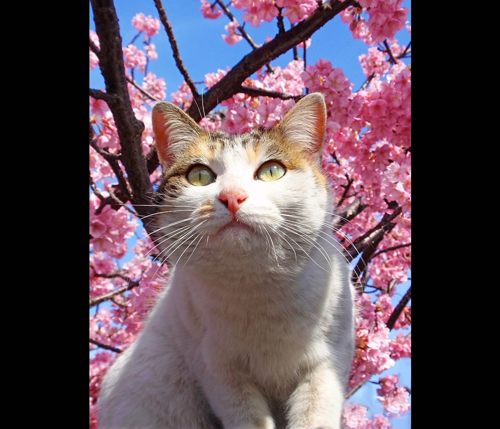 cat and blossoming cherry tree