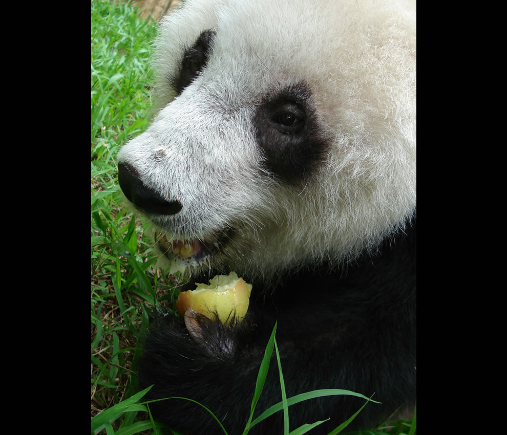 A 20 year old giant panda bear munching on an apple at the park in China