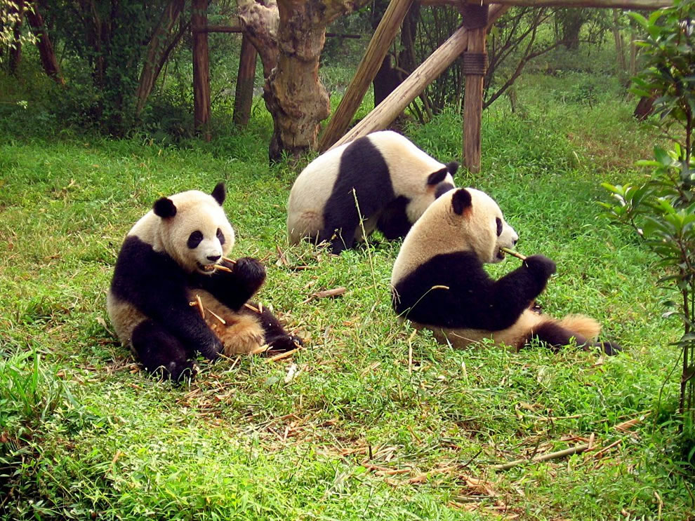 Ailuropoda melanoleuca (black and white cat) at Chengdu's Giant Panda Breeding Research Base