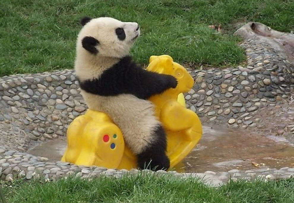 Baby panda rides toys in the water at sanctuary