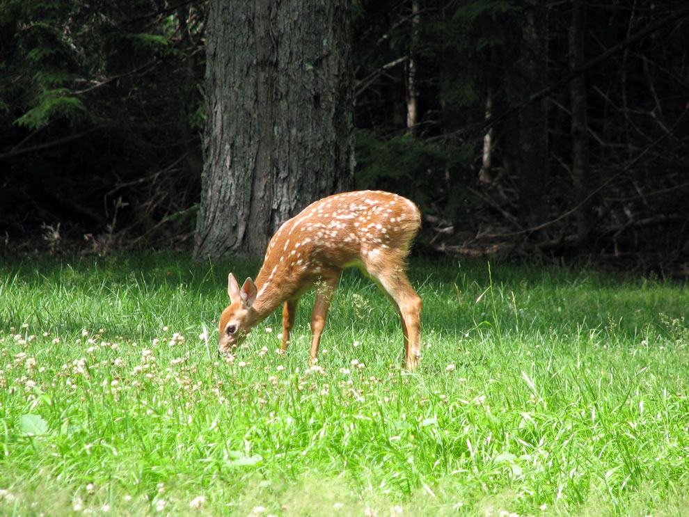 Bambi at Acadia NP