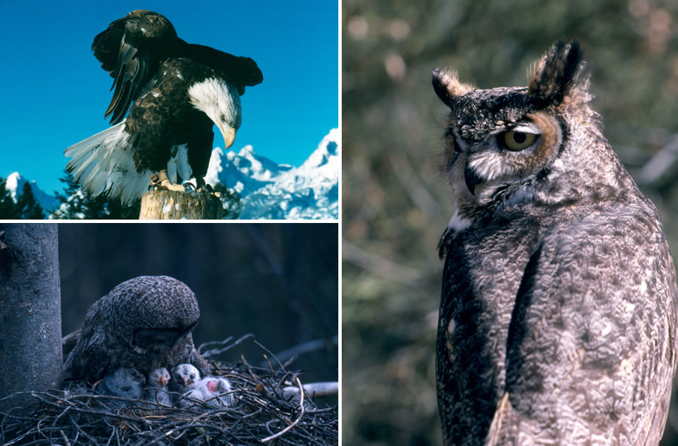 Bald Eagle, Great Horned Owl, Great Gray Owl with owlets
