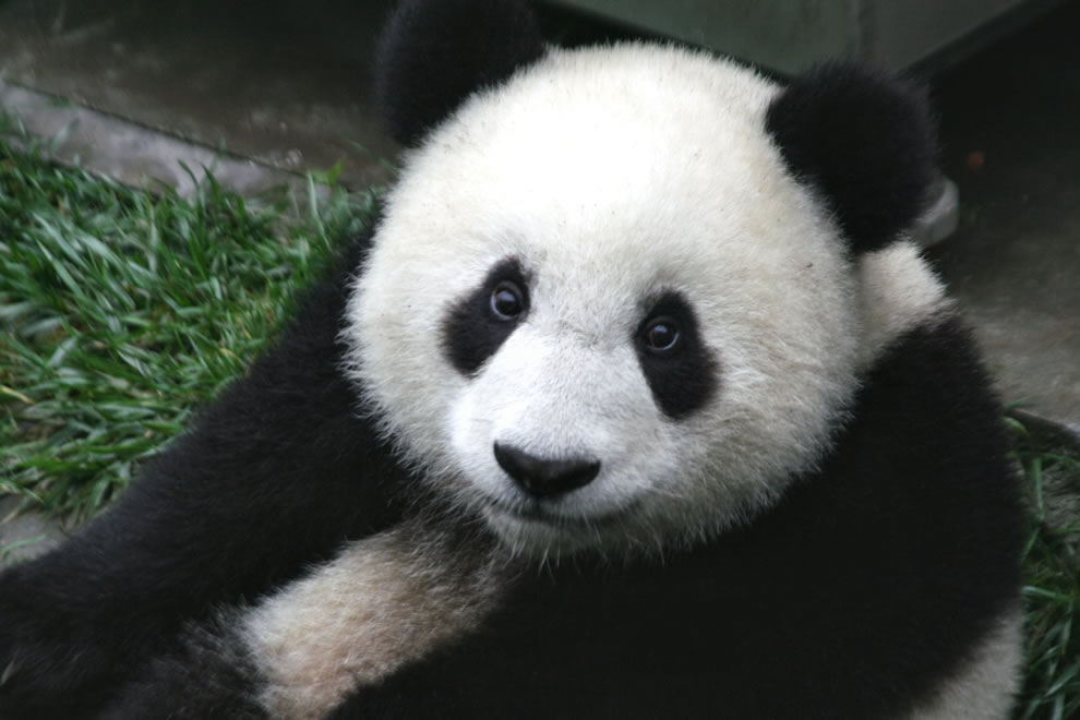 Close up of a baby seven-month-old panda cub in the Wolong Nature Reserve in Sichuan, China