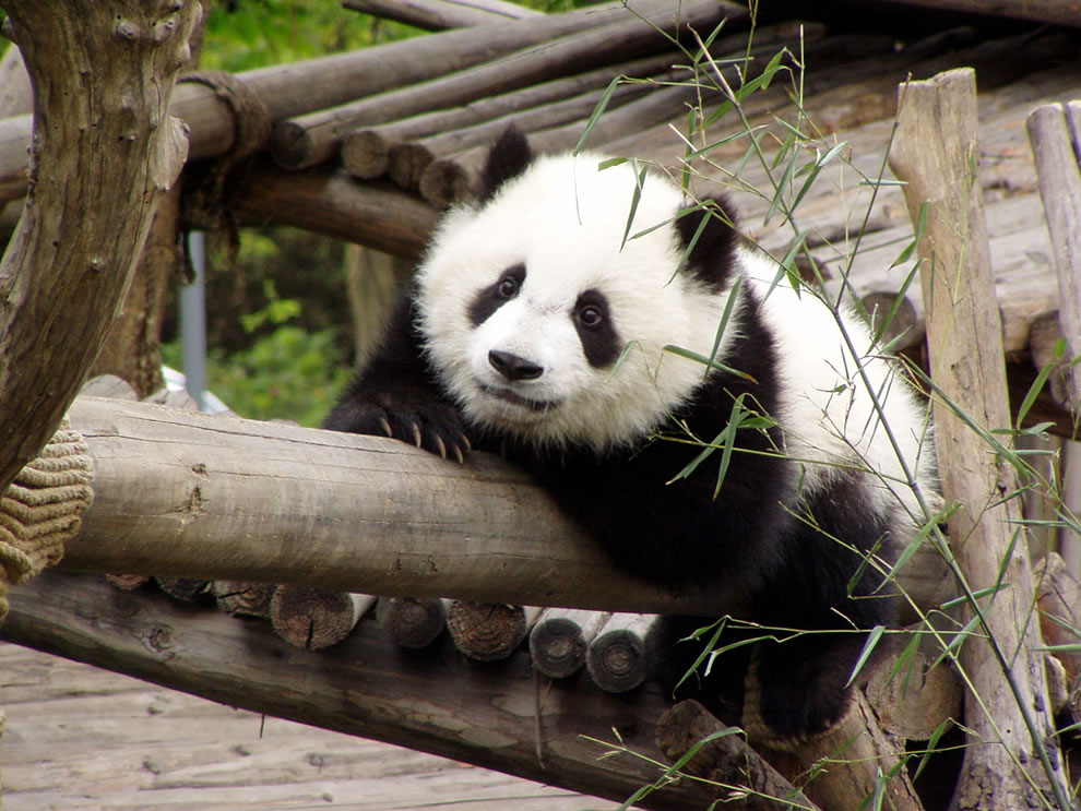 Day of the Panda, Sichuan China