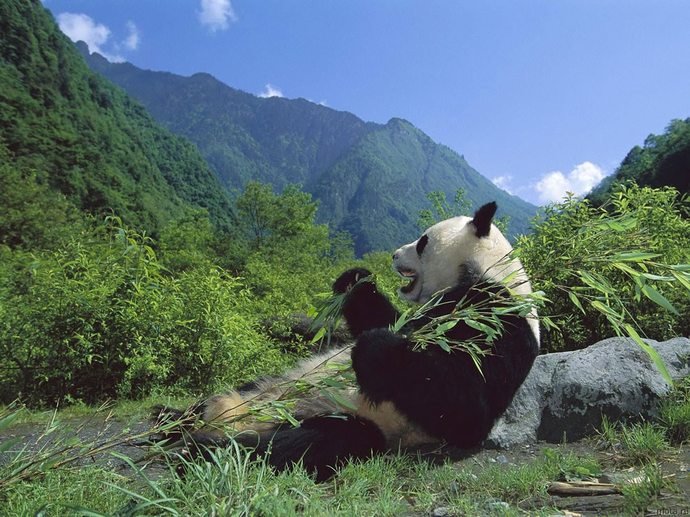 Giant Panda Eating Bamboo, Wolong Nature Reserve, Sichuan, China