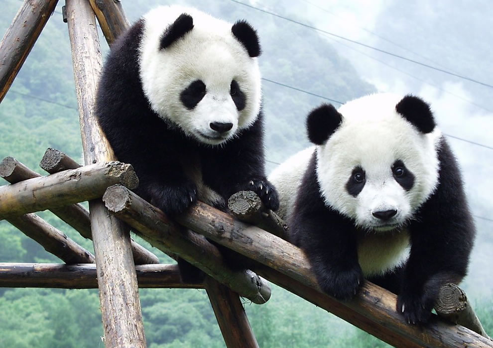 Giant pandas at Wolong