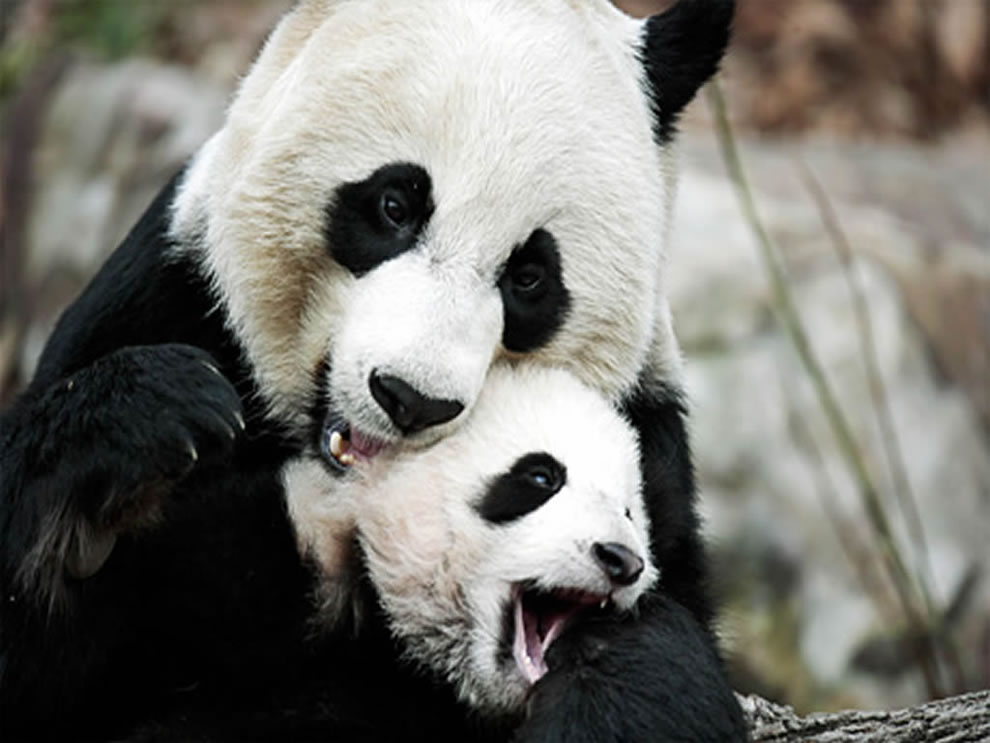 Giant pandas snuggling at Wolong, China Panda preserve