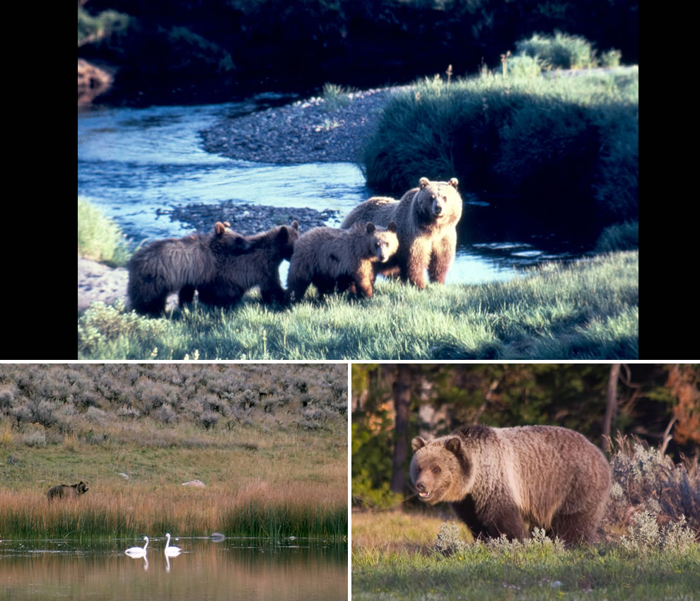 Grand Teton National Park Grizzly Bears