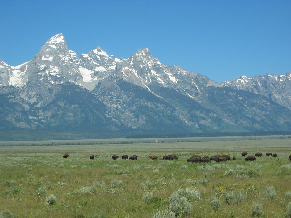 Herd of Bison grazing at Grand Teton National Park, Wyoming
