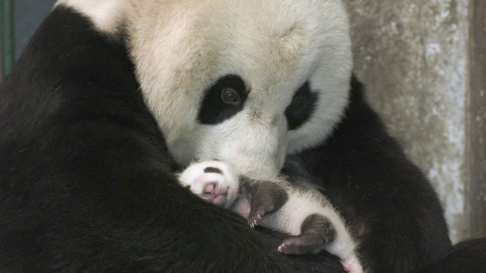 Momma and baby endangered giant pandas at UNESCO World Heritage Site Sichuan Giant Panda Sanctuaries