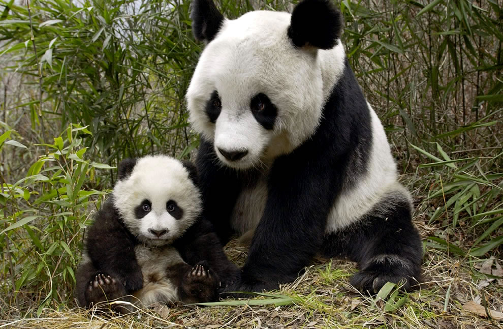 Mother and Cub giant pandas at Wolong National Nature Preserve