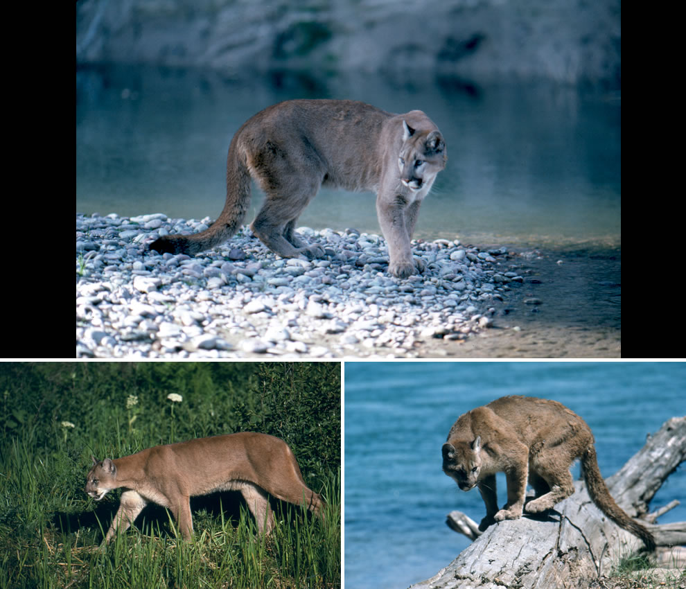 Mountain Lions in Grand Teton National Park