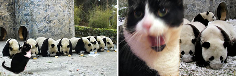 Panda&#039;s at Wonlong after the earthquake, and watching kitty apparently wanting some milk