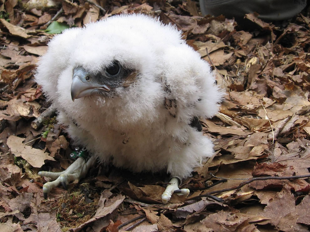 Peregrine Falcon chick after banding